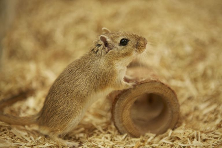 Picture of gerbil in research made available by Novartis