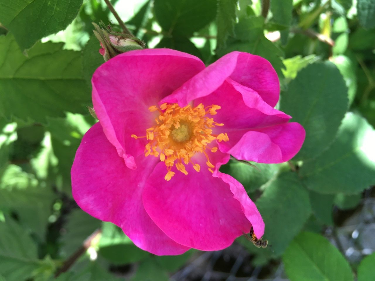 Essig-Rose (Rosa gallica)