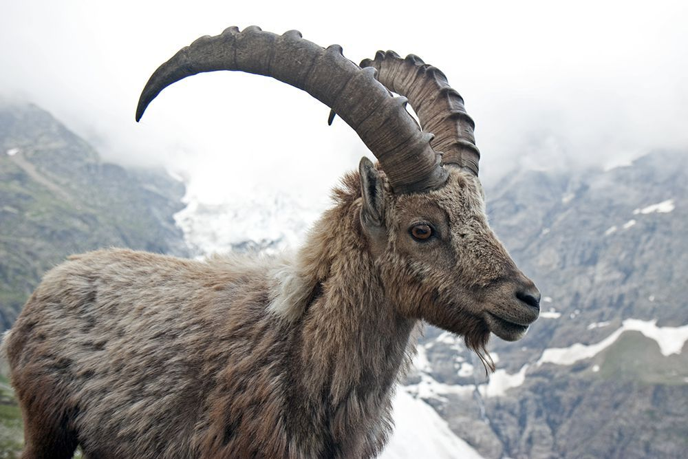 Ibex at the Glecksteinhütte over Grindelwald