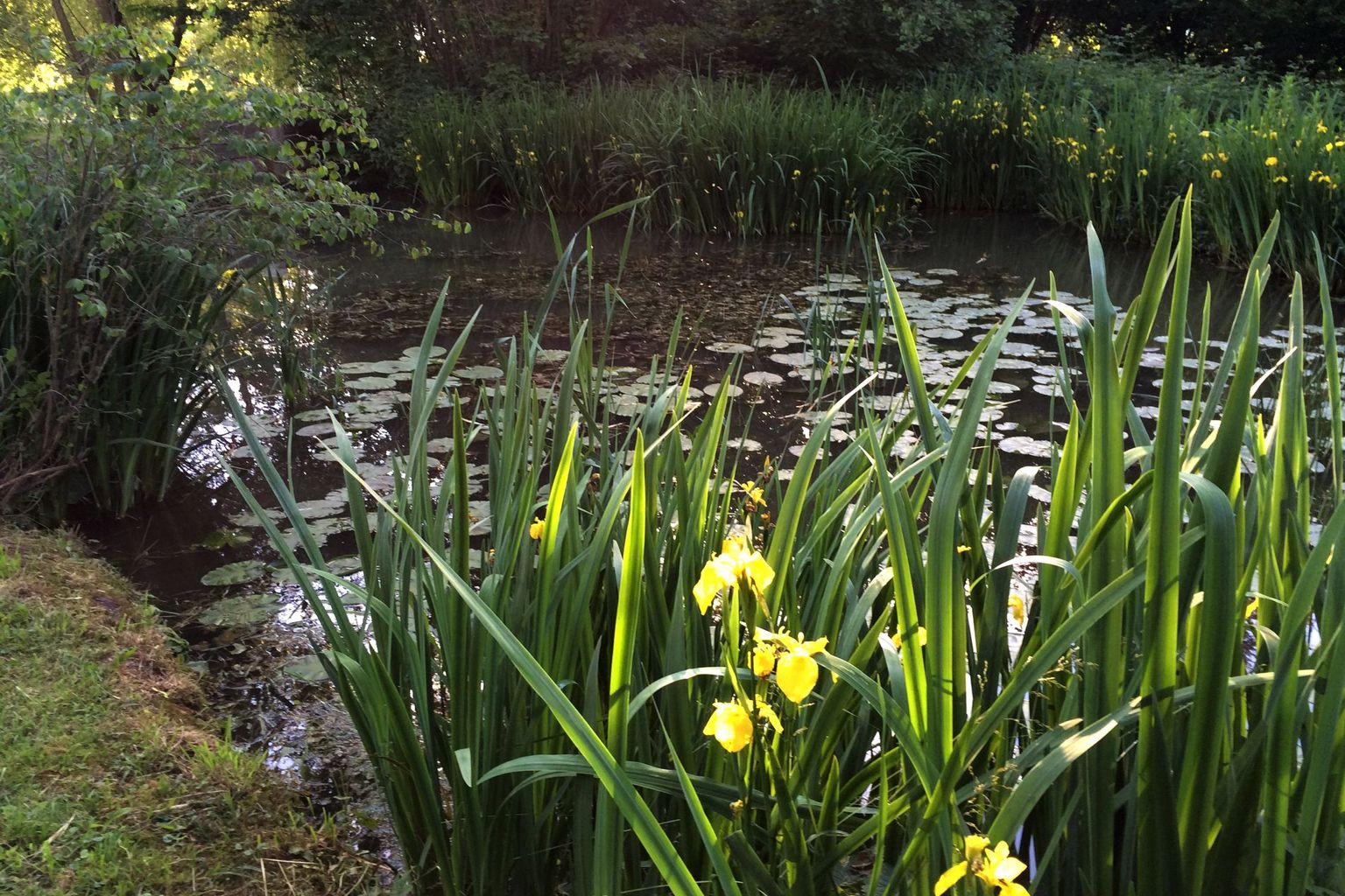 Yellow iris in the biotope of the Centre Loewenberg