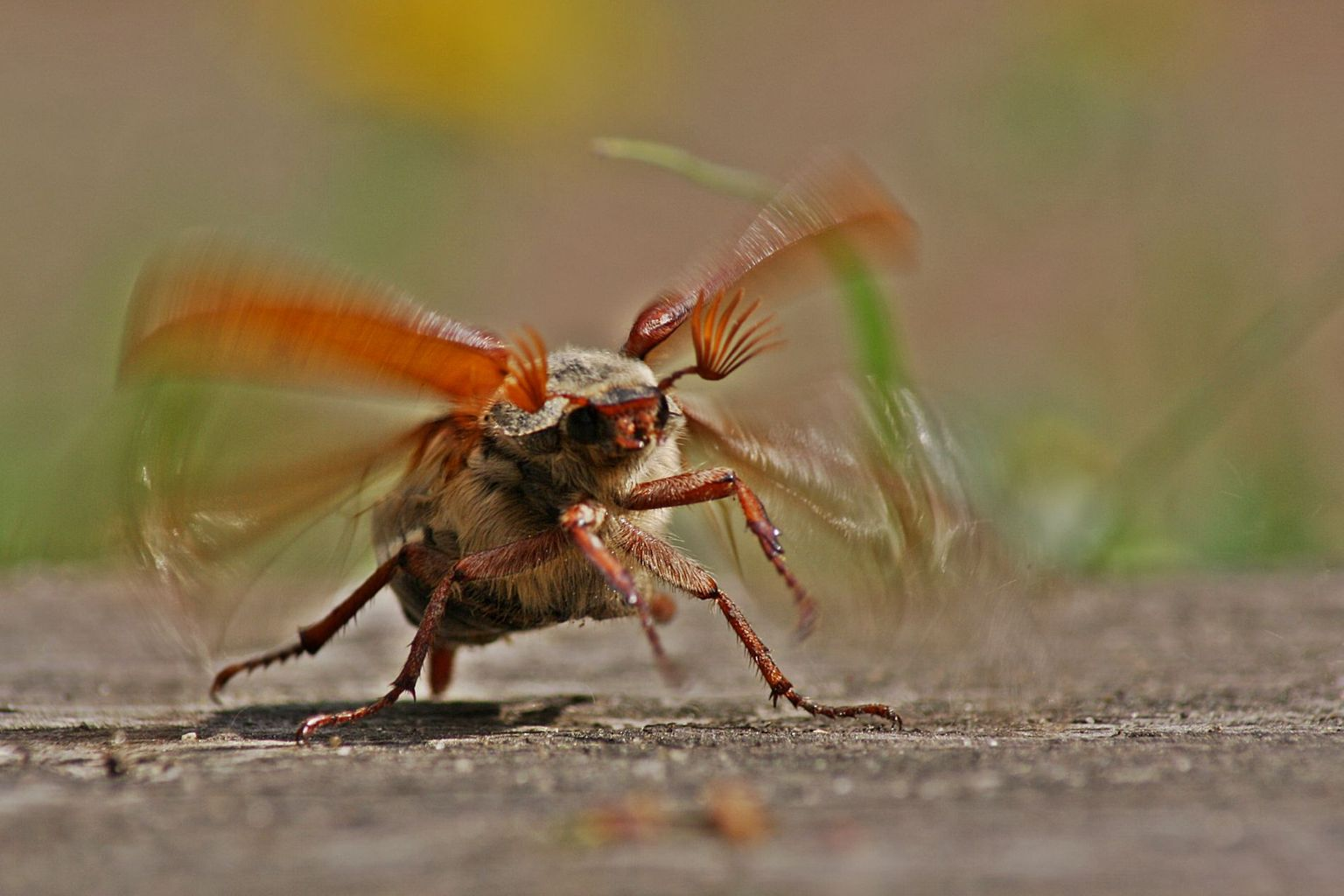 Maybug taking off