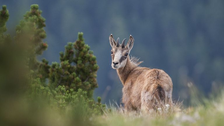 chamois yearling national parc