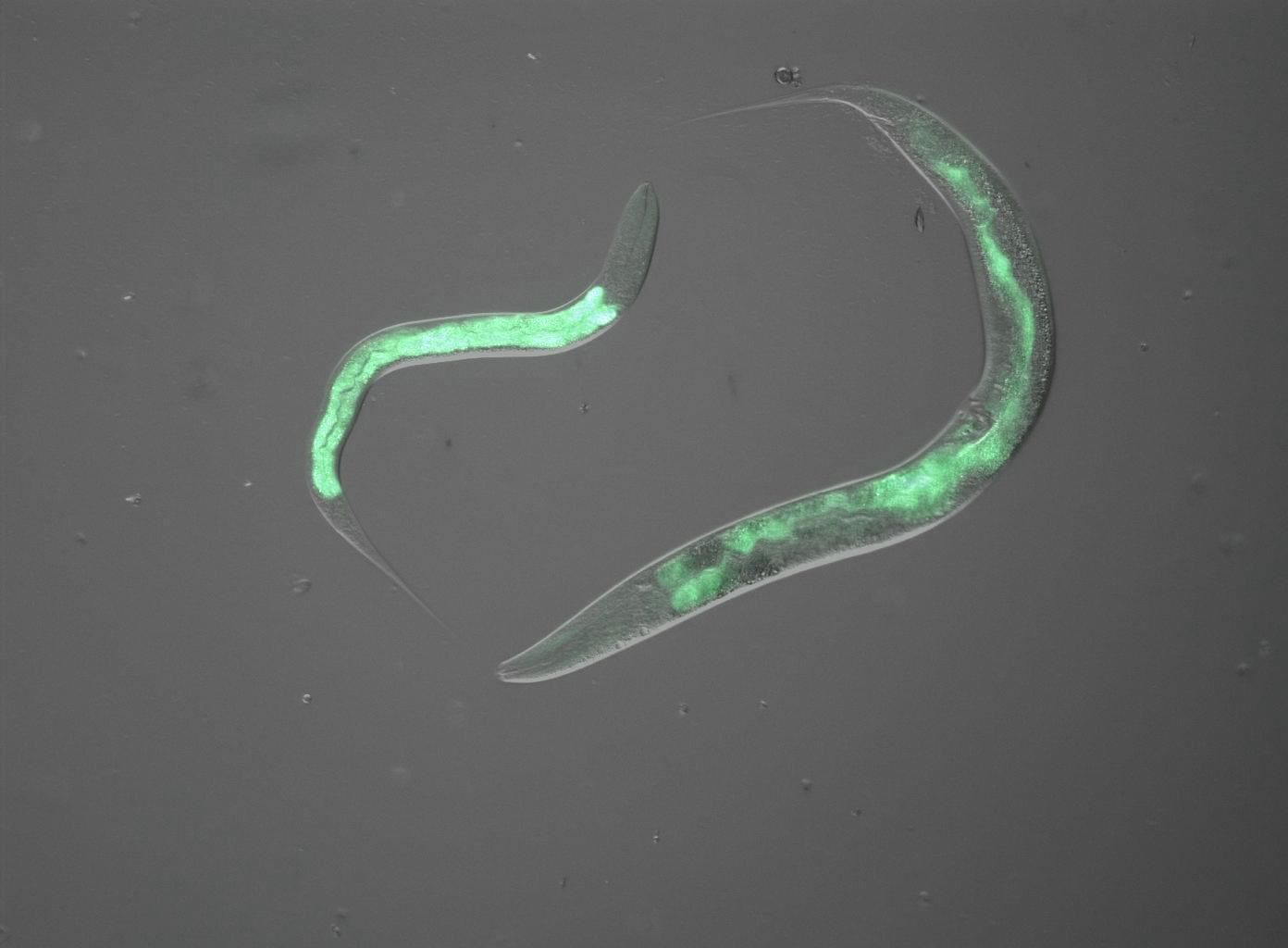 Using C. elegans instead of higher developed animals