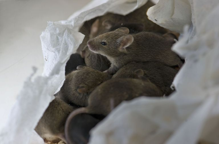 Mouse offspring