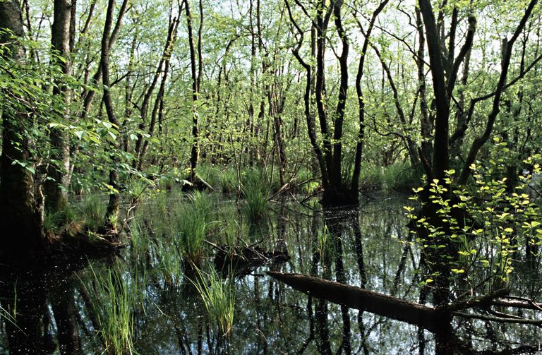 black alder forest swump water