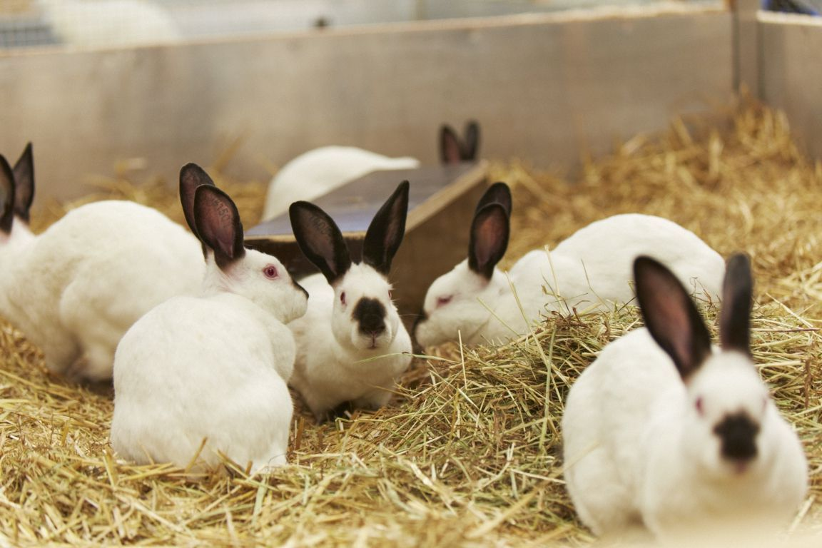 Picture of rabbits in research made available by Novartis